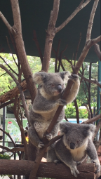 Currumbin Koalas