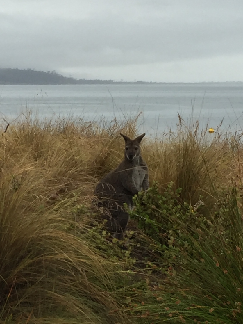 Wallaby in Bruny Island